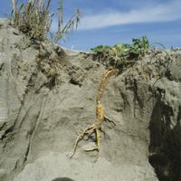 ハマボウフウの根(地中断面) 32165000301| 写真素材・ストックフォト・画像・イラスト素材|アマナイメージズ
