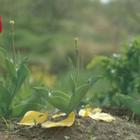 チューリップの生長 8 花が散る
