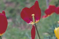 チューリップの生長 花びらが散る