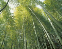 新緑の頃の孟宗竹林