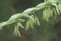 トウモロコシの花粉飛散