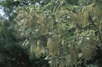 花粉が散るコナラの花