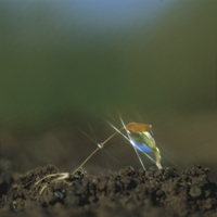 セイヨウイタンポポの芽生え 32165000609| 写真素材・ストックフォト・画像・イラスト素材|アマナイメージズ
