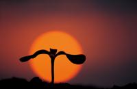 ヒマワリの芽生え (夕日に浮かぶ双葉/子葉のシルエット)