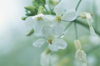 雨の日のダイコンの花