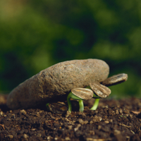 石を持ち上げるヒマワリの芽