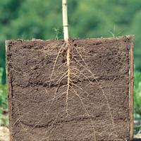 ヒマワリの根のようす(地中の断面)