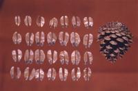 ひとつのマツカサに入っている種子 32165000719| 写真素材・ストックフォト・画像・イラスト素材|アマナイメージズ