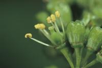 ブドウ'巨峰'の花(花びらが落ちた後)