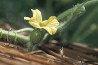 スイカの成長連続 2/6:雌花