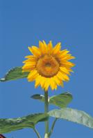 ヒマワリの開花 (中心部の管状花はまだ開いていない)