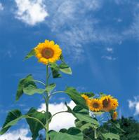 青空を背景に咲くヒマワリ