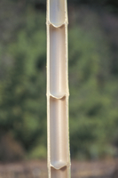 モウソウチク(孟宗竹)の棹(幹)の縦断面