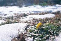 冬のセイヨウタンポポ