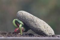 石を持ち上げるインゲンマメの芽