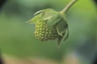 オランダイチゴ(イチゴ)の結実 連続 3/6:花托が大きくな