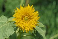 八重咲きヒマワリ 花