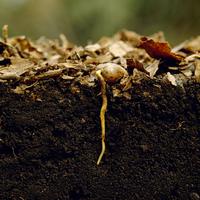 コナラの芽生 根を伸ばす