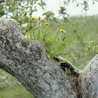 タンポポの花 リンゴの木の上