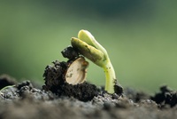 ニガウリ(ゴーヤ)の芽生え
