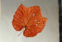 ヤマブドウの葉 紅葉