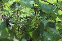 結実したブドウ 品種:デラウェア