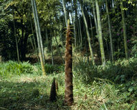 タケノコ(モウソウチク)の生長 定点A