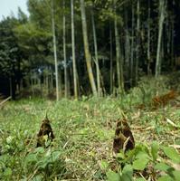 タケノコ(モウソウチク)の生長 定点B