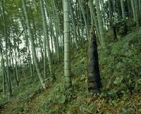 タケノコ(モウソウチク)の生長 定点C