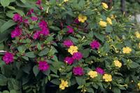 オシロイバナ 花