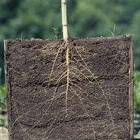 ヒマワリの開花時の根
