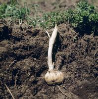 コオニユリの芽吹き 地中の様子