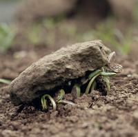 ヒマワリの芽生の力 多数だと石を持ち上げる