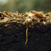 コナラの芽生え 土の中の様子