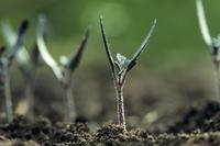 ミニトマトの芽生え