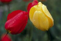 雨の日のチューリップ 春