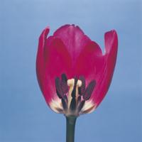 チューリップの花のつくり