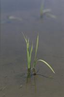 田植え後の苗