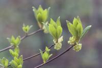 クロモジの新葉と花