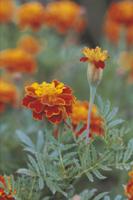 フレンチ・マリゴールド(クジャクソウ)の花