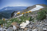 高山に咲くミヤマタンポポ