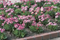 ヒナギク(デージー)の花壇