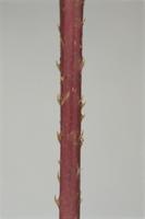 ママコノシリヌグイの茎のトゲ