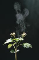 カテンソウの花粉放出