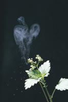 花粉を飛ばすカテンソウの花