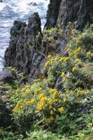 海沿いの岩場に生えるイソギク
