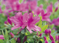 ツツジ 'オオムラサキ'の花