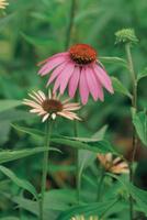 ムラサキバレンギク(エキナセア)の花
