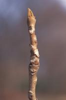 オニグルミの冬芽 32171000534| 写真素材・ストックフォト・画像・イラスト素材|アマナイメージズ