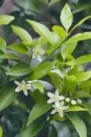 タチバナ 花